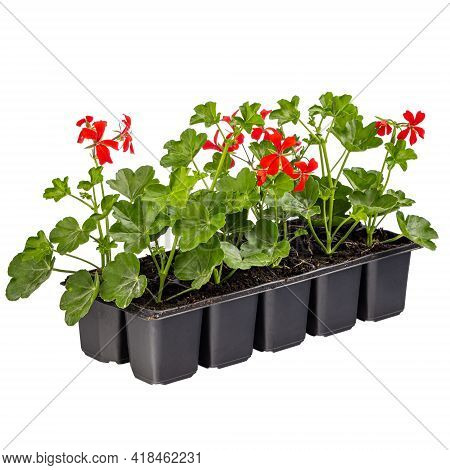 Ivy Red Geraniums Or Pelargonium Peltatum Ready For Sale Isolated On White Background