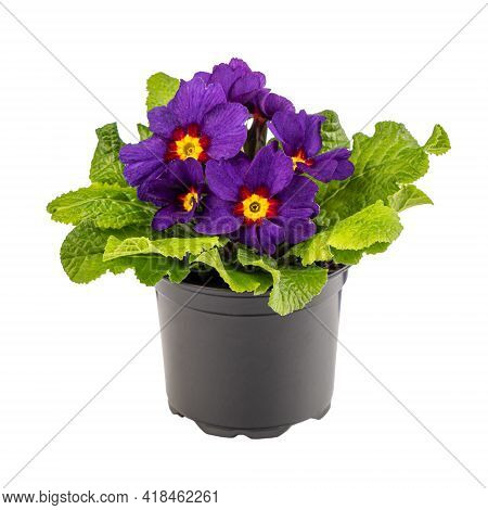 Purple Primula Primrose Adorned With A Bright Yellow Center Isolated On White Background