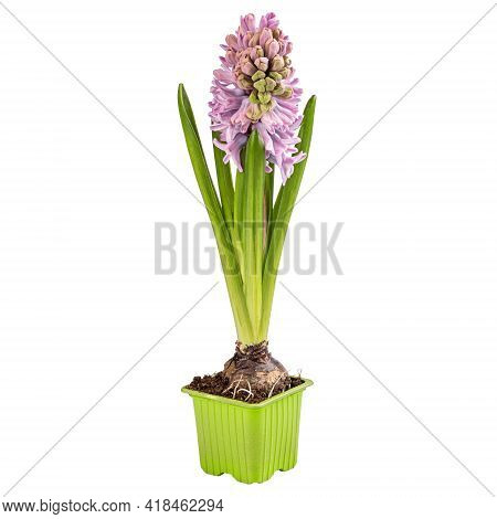Beautiful Pink Hyacinth In Flowerpot Isolated On White Background