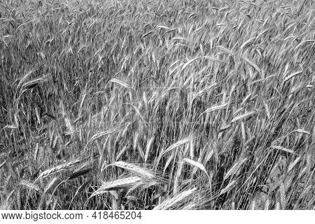 Rye Field View In Black And White. Agricultural View And Scenery Background.