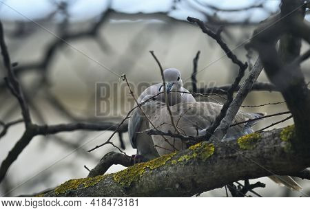 Young Dove Streptopelia Decaocto Nesting In Spring