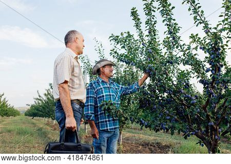 Agricultor And Agronomist Standing In A Plum Orchard, Looking And Pointing Away, They Are Examining