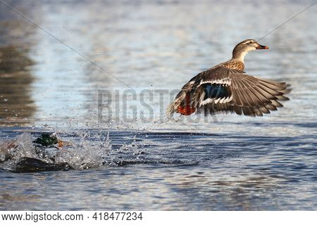 A Male Mallard Drake In Pursuit Of A Female Who Is Flying Away