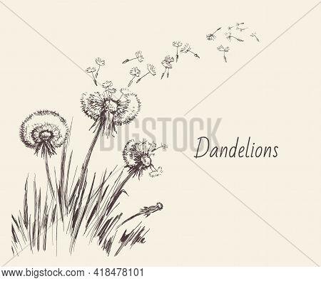 Dandelions, Flying Seeds Of Dandelion Hand Drawn Illustration Isolated On White Background