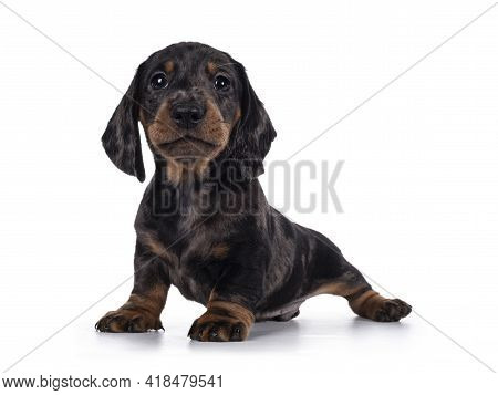 Cute Dachshund Aka Teckel Pup, Sitting Facing Front. Looking Curious Into Camera. Isolated On White
