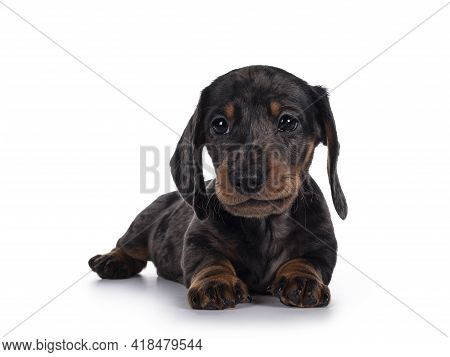 Cute Dachshund Aka Teckel Pup, Laying Down Facing Front. Looking Curious Into Camera. Isolated On Wh