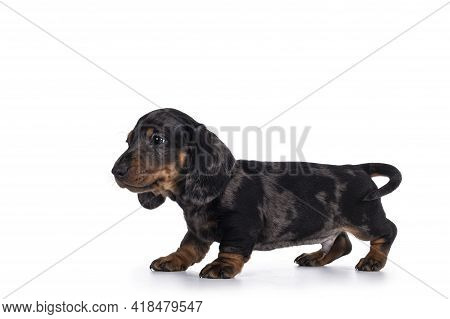 Cute Dachshund Aka Teckel Pup, Standing Side Ways Showing Profile. Looking Curious Into Camera. Isol