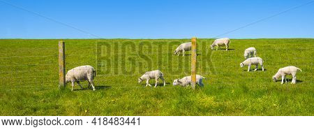 Herd Of Sheep On A Green Grassy Dike In Bright Blue Sunlight In Spring, Noordoostpolder, Flevoland,