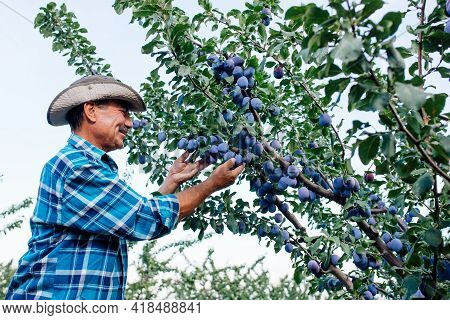 Side View Of A Senior Farmer Checking The Plups In His Orchard, Farmer Or Agronomist Examining And P