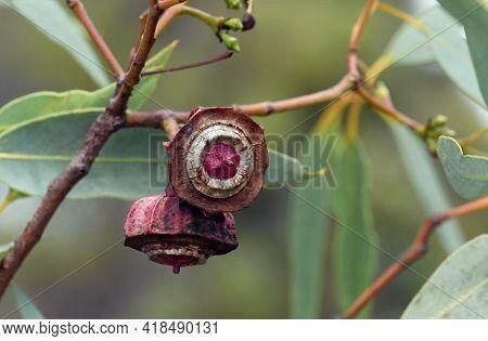 Large Ribbed Gum Nuts Of The Australian Native Kingsmill Mallee, Eucalyptus Kingsmillii, Family Myrt