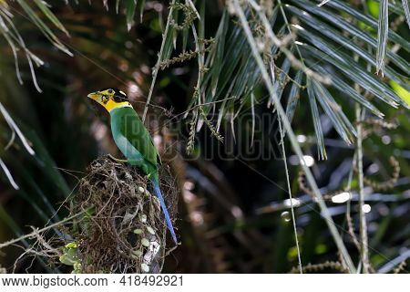 Bird, Long-tailed Broadbill (psarisomus dalhousiae ) on tree branch helping each other to build a ne