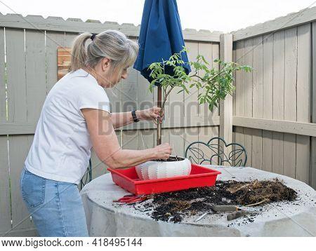 Senior Woman Potting Wisteria Bonsai Tree