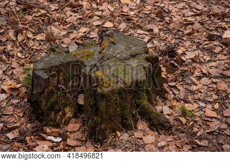 Old felled tree trunk in the forest in spring. Texture of an old rotten stump of a felled tree. Detailed warm dark brown tones of a felled tree trunk or stump.