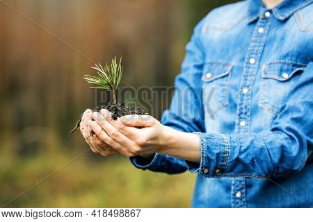 Plant A Forest And Forestry Concept - Hands Holding Pine Tree Seedling. Renewable Resource