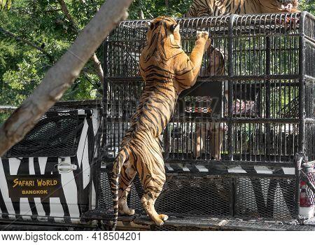 Bangkok, Thailand - December 09, 2019 : The Girl Is Feeding Bengal Tigers At Safari World Zoo.