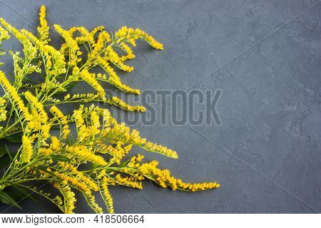 Few Sprigs Of Canadian Goldenrod (solidago Canadensis) With Delicate Yellow Flowers On A Gray Backgr