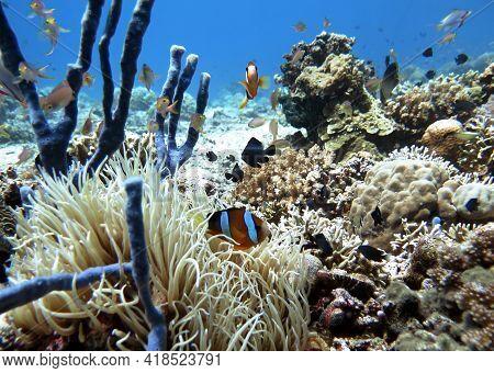 A Clark's Anemonefish On Reef Pescador Island Philippines