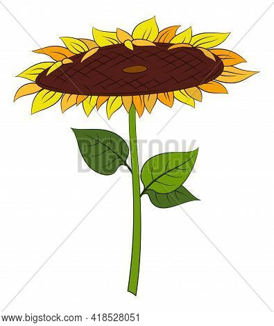 Cartoon Sunflower With Green Leaves Isolated On White Background. Vector