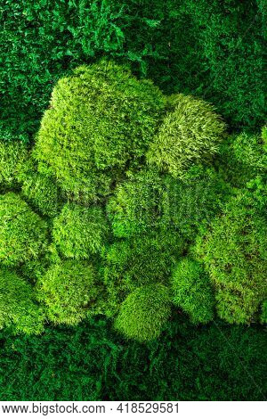Green wall decoration of cladonia rangiferina reindeer moss