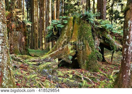 Alishan National Scenic Area In Taiwan - Beautiful Cypress And Cedar Trees Forest. Old, Mossy Tree R