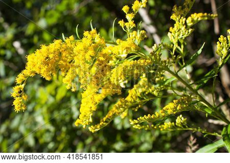 Yellow Flowers Of Canada Goldenrod (solidago Canadensis), Selective Focus