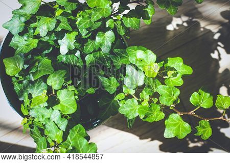 Green Ivy In Flower Pot On Wooden Floor Sunlit With Sharp Shadow