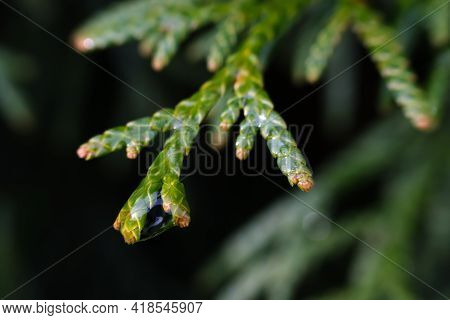 Thin Spread-out Branch Of A Green Thuja.