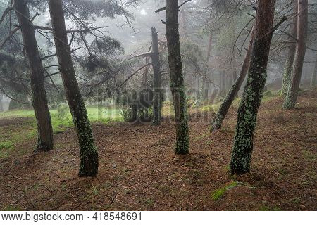 Enchanted Forest Environment With Clearing Between The Trees And Intense Fog. Morcuera Madrid.