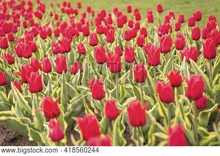 Field Of Tulips. Springtime Bloom. Gardening Tips. Growing Flowers. Growing Bulb Plants. Enjoying Na