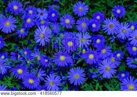 Floral Garden. Dark Cyan Flowers New York Aster Or Aster Novi-belgii (latin: Symphyotrichum Novi-bel