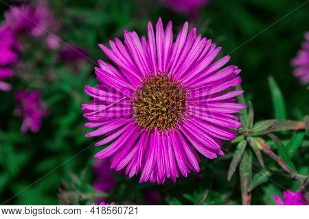 Floral Garden. Lilac Flower New York Aster Or Aster Novi-belgii (latin: Symphyotrichum Novi-belgii)