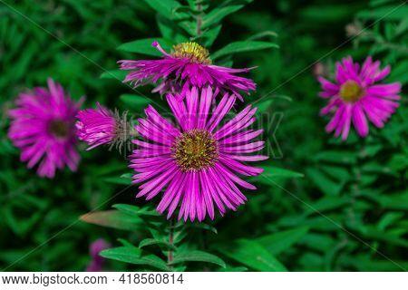 Floral Garden. Lilac Flowers New York Aster Or Aster Novi-belgii (latin: Symphyotrichum Novi-belgii)
