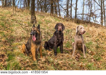 Three Dogs Sitting In An Oak Forest. Spring Walk With Dogs. Sheepdog, Weimaraner And Flat Coated Ret
