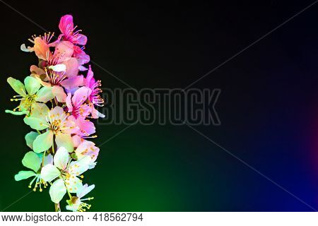 Multiple Mirabelle Plum Plowers Blooming In Uv. Side Composition With Copy Space. White Flowers Illu