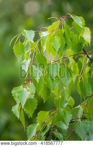 Birch Branches With Fresh Green Leaves And Seeds. The Branch Of A Birch Close Up With Green Leaves A