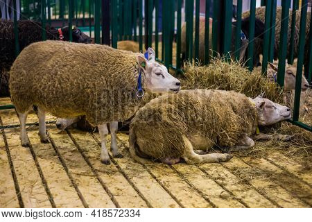 Two Funny Cute Texel Sheep At Agricultural Animal Exhibition, Small Cattle Trade Show. Farming, Agri