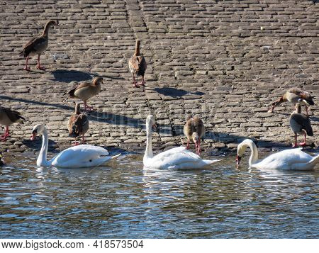 Flock Of Swans, Nile Geese, Mallards By Saar River On Cobbled Shore, Luxembourg - Germany Border On