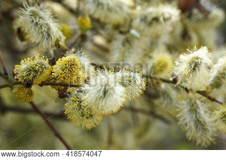 Bees Collect Nectar On Salix Flowers In Early Spring. Ornamental Shrub For The Garden. Beekeeping. C