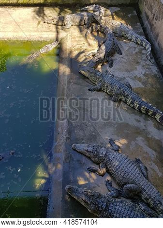 Several Caged Crocodiles Bask In An Enclosure Near The Mekong Delta In Vietnam. Taken During A Long-