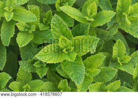 Spearmint Plants Growing Outdoor In A Garden Seen From Above