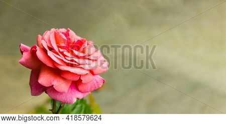 Red, Pink And White Rose On Grey Background Macro. Close Up Macro Photo Image Of Beautiful Light Col