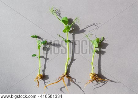 A Young Sprout Of Green Peas Casts A Beautiful Shadow On A Gray Background. Organic Pea Sprouts, Mic