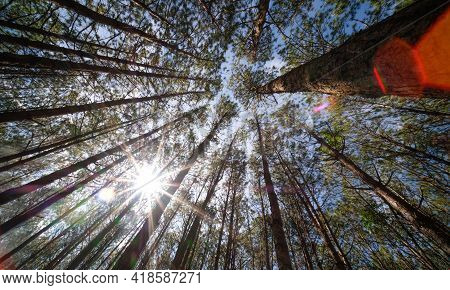 View Up Or Bottom View Of Pine Trees Inforest In Sunshine. Royalty High-quality Free Stock Photo Im