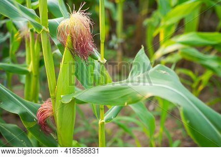 Green Corn Tree In Park. Grow Organic Vegetable. Raw Food Nature. Modern Agriculture Farmer Career O