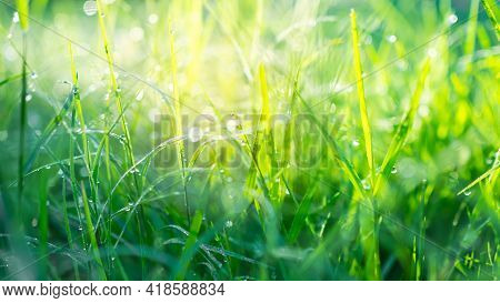 Dew Drop On Grass With Sunlight Is Bokeh. Drop Water On Fresh Juicy Lush Of Morning And After The Ra