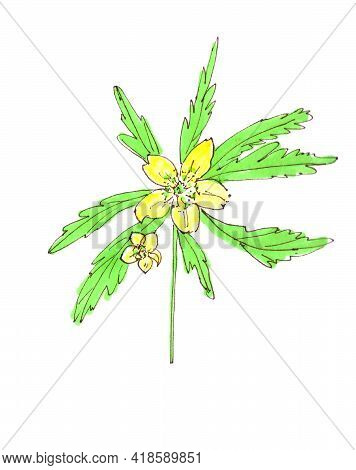 Anemone Ranunculoides, Yellow Anemone, Yellow Wood Anemone, Buttercup Anemone, Graphic Color Sketch