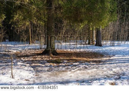 Snow Under A Large Evergreen Spruce On A Sunny Spring Day.