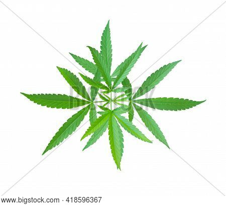 Cannabis Or Marijuana Leaves Plant Isolated On White Background, Health Care And Medical Concept