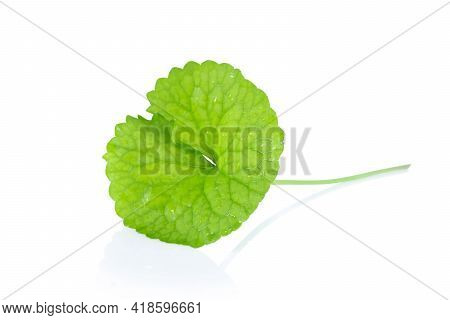 Closeup Leaf Of Gotu Kola, Asiatic Pennywort, Indian Pennywort On White Background, Herb And Medical