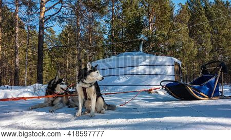 A Pair Of Siberian Huskies Are Harnessed And Resting On A Snowy Road. The Red Harness Is Taut. Behin